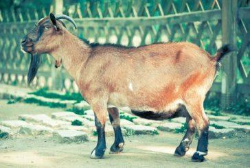 У Сербії коза з'їла 20 тисяч євро своїх господарів