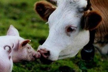 На переробні підприємства Тернопільщини надійшло менше cільськогосподарських тварин