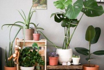 Цілющий мікроклімат у квартирі створять монстера і кактуси