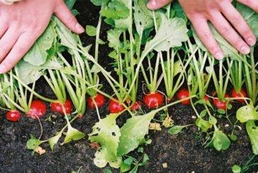 П'ять правил вирощування смачної редиски