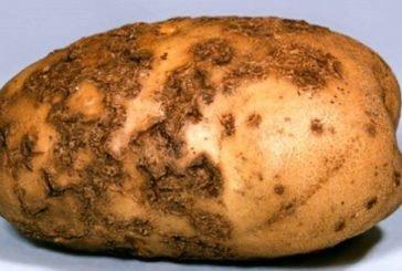 На Тернопільщину із Польщі хотіли завезти 20 тонн «хворої» на рак картоплі (ФОТО)