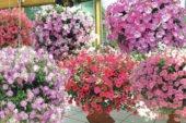 Щоб петунії квітли рясно. Варто вчасно підживляти та правильно поливати