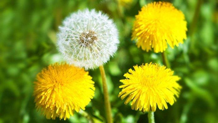 Властивості кульбаби: яка користь для організму прихована у весняній квітці
