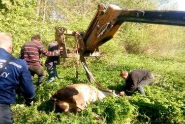 На Бучаччині рятувальники визволяли із 3-метрового колодязя корову (ФОТО)