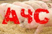 Африканська чума свиней: чи довго платитиме Тернопільщина за свою байдужість?