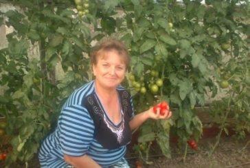 Незвичайні помідори зі смаком полуниць, яблук і навіть молока: Марія Марко з Полупанівки Підволочиського району вирощує понад 150 колекційних сортів томатів (фото)