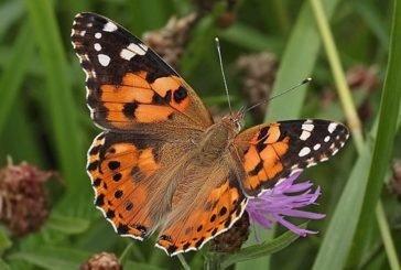 У заповіднику «Медобори» на Тернопільщині – нашестя метеликів Vanessa cardui