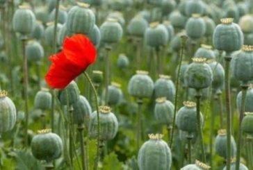 Операція «Мак» на Тернопільщині: поліцейські задокументували 42 факти незаконного вирощування нарковмісних рослин