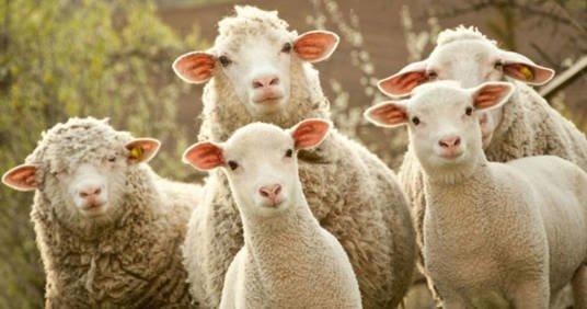 В аеропорту Брюсселя «найняли» овець для стрижки трави