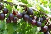 Йошта: незвична ягода зміцнить імунітет