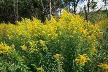 Жителям Тернопільщини радять бути обережними із золотарником канадським: ця рослина агресивна (ФОТО)