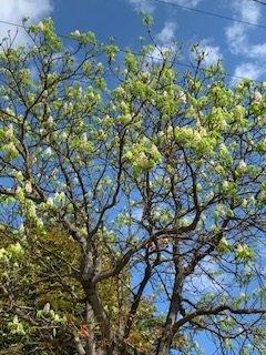 Серпневе диво: у Тернополі цвіте каштан (ФОТО)