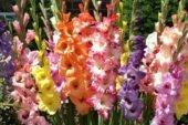 Щоб гарно квітли гладіолуси