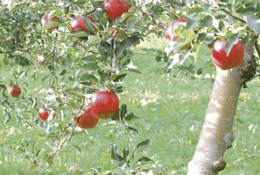 Синова яблунька