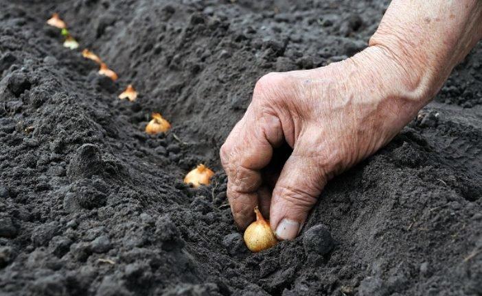 Садимо цибулю восени, щоб навесні смакувати ранньою зеленню