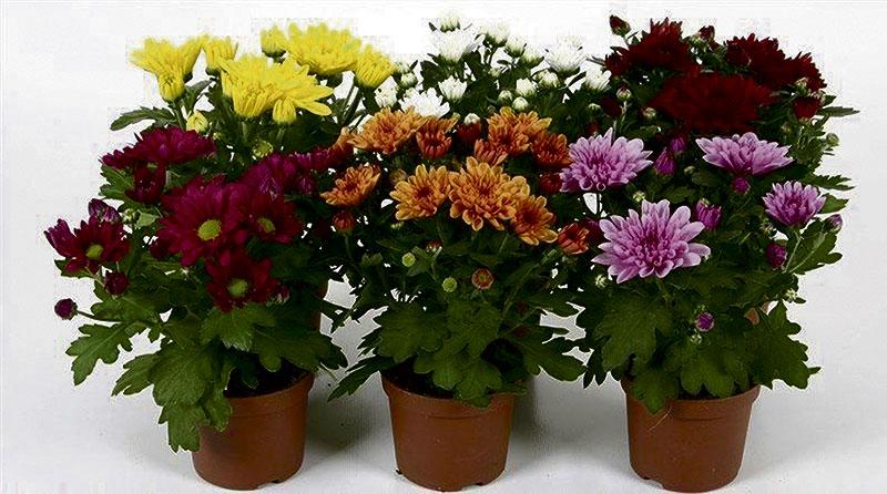 Її величність хризантема. Як доглядати квіти в горщику