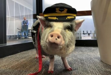 В аеропорту Сан-Франциско працює свиня-терапевт