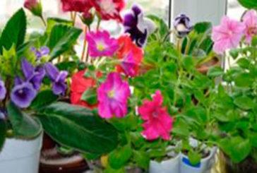 Кімнатні рослини, що квітнуть весь рік