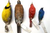 Через глобальне потепління розмір птахів став меншим