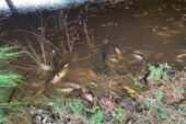 В Австралії сотні тисяч риб загинули через попіл у воді