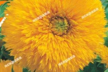 Насіння декоративного соняшнику - яскраві фарби для вашої клумби