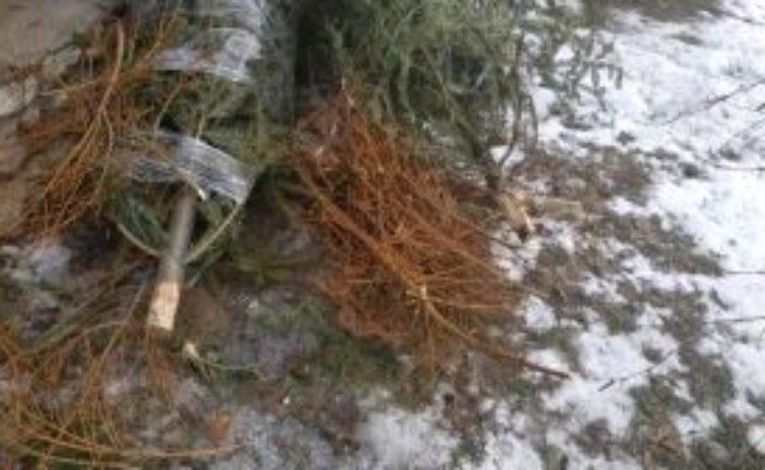 Тернополян просять залишати використані новорічні ялинки біля сміттєвих контейнерів