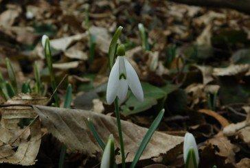 У «Медоборах» на Тернопільщині розквітли перші весняні квіти (ФОТО)