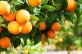 В Іспанії апельсини перероблятимуть на… електрику