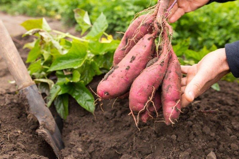 Замість картоплі садимо батат