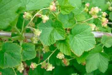 У червні потрібно заготовити листя смородини