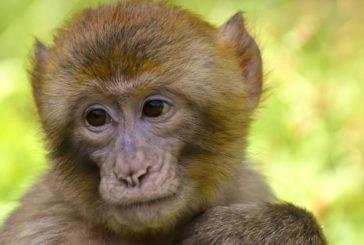 В Індії мавпа-алкоголік вбила людину і багатьох поранила