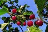Кременчан навчатимуть варити вишневий борщ
