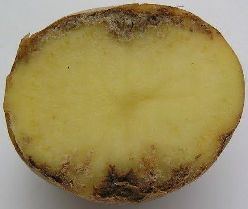 На Тернопільщині «захворіла» картопля
