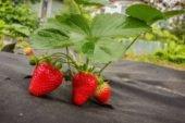 Бракує українських заробітчан: в Естонії гине урожай полуниці
