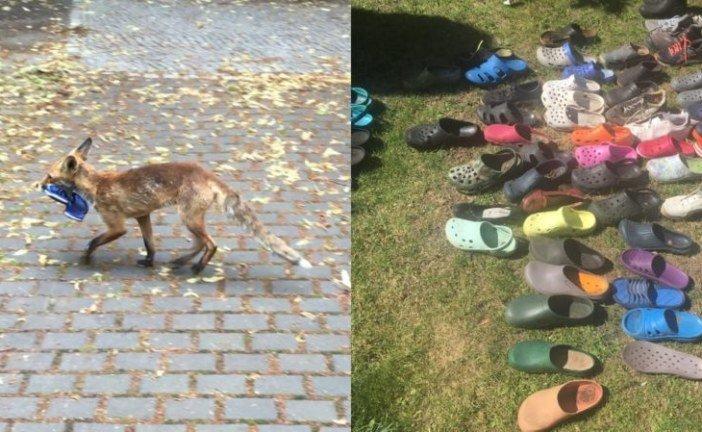 У Берліні лисиця викрала з будинків купу взуття