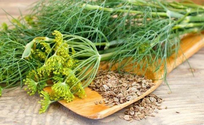 Які хвороби лікує насіння кропу