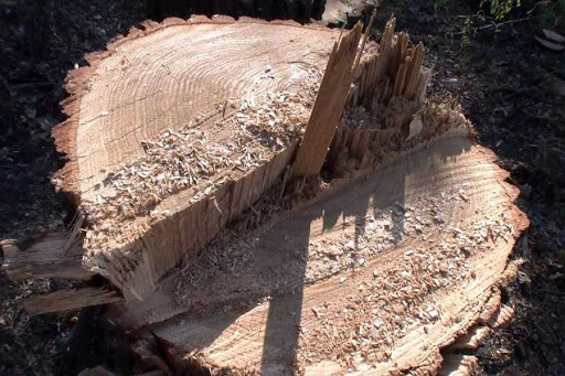 На Тернопільщині підприємство сплатить 840 000 гривень за незаконне вирубування дерев у заповіднику