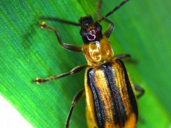 На Тернопільщині збільшуються площі зараження західним кукурудзяним жуком: в одному з районів – карантин