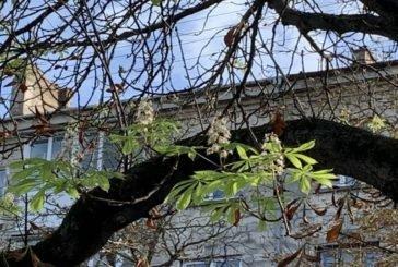 Жовтневе диво: у Тернополі цвітуть каштани… (ФОТО)