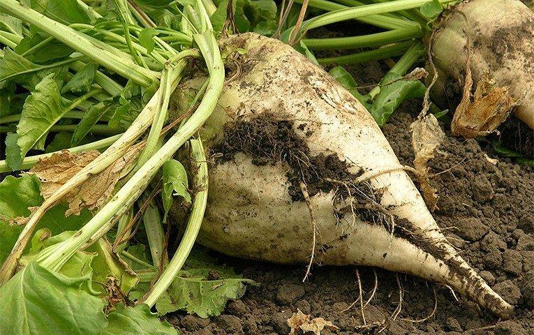 На Тернопільщині торік зібрали менше цукрових буряків, ріпаку, сої, картоплі
