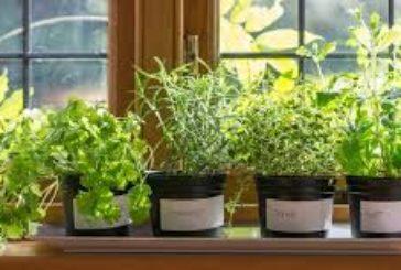 Не хворійте: лікарські трави, які можна виростити вдома