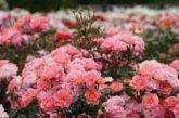 Секрети і тонкощі вдалого осіннього вкорінення троянд