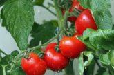 Чи потрібно обривати нижнє листя у томатів?