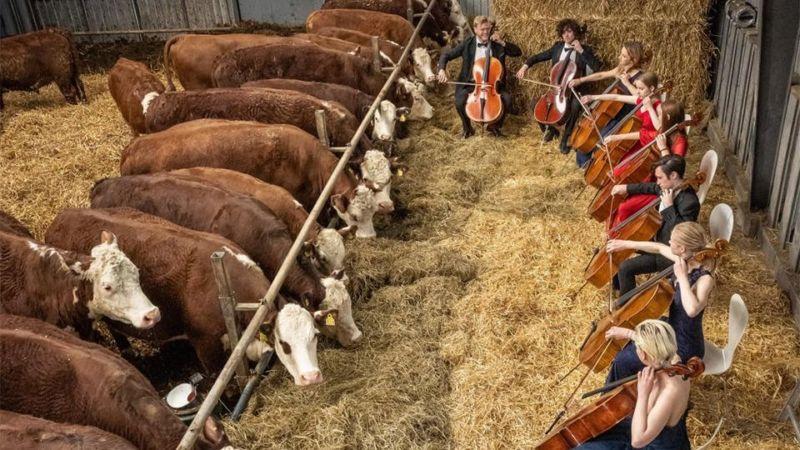 У Данії влаштовують концерти для корів