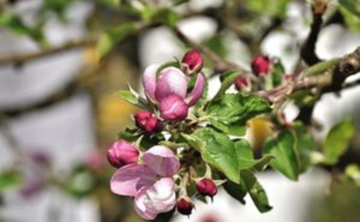 Як боротися з яблуневим квіткоїдом?