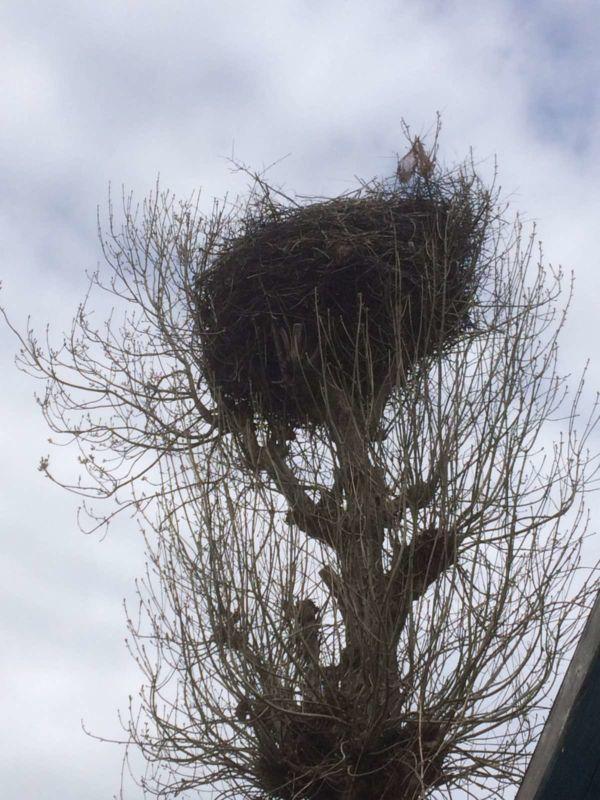 Лелека два дні не покидав гнізда, де помирала його кохана: на Тернопільщині птахи загинули через невідому отруту