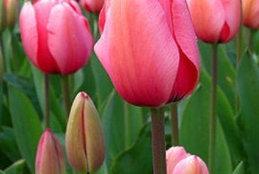 Тюльпани відцвіли: що робити далі?