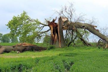Розколене дерево
