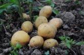 Через зливи потерпіла картопля