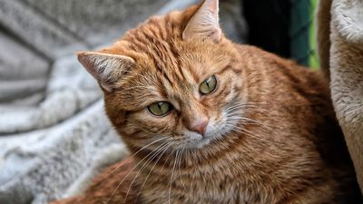 В Австралії котам заборонили виходити на вулицю